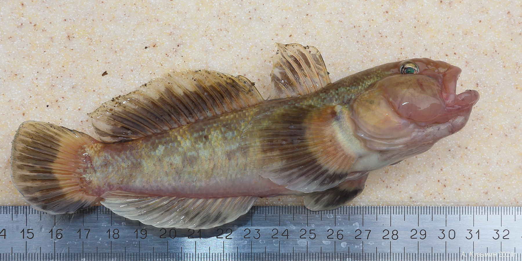 Пресноводные бесчелюстные и рыбы Неклиновского района и Таганрога